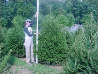 7'-8' Norway Spruce