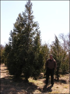 14'-16' cryptomeria ''yoshino''