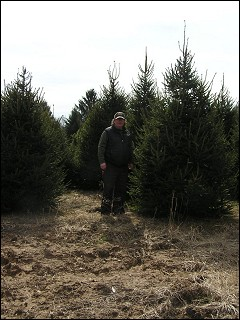 10'-11' Norway Spruce